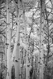 An Aspen Grove Above Bishop Photographic Print by Macduff Everton