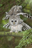 A Juvenile Barred Owl, Strix Varia, Perches on a Tree Branch and Stretches its Wing Photographic Print by Paul Colangelo