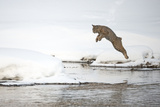A Bobcat, Lynx Rufus, Leaping from One Snowy River Bank to Another Photographic Print by Robbie George