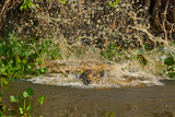 A Jaguar Leaps into Cuiaba River in the Brazilian Pantanal Photographic Print by Steve Winter