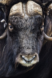 The Enormous Horned Head and Intense Stare of a Cautious Musk Ox Photographic Print by Jason Edwards