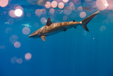 A Galapagos Shark Cruising Near the Surface Photographic Print by Ben Horton