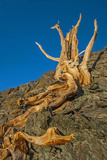 The Wind-Twisted Trunk of a Dead Bristlecone Pine Atop an Arid Mountain Photographic Print by Gordon Wiltsie