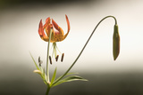 A Tiger Lily Grows Along the Rogue River Photographic Print by Phil Schermeister