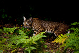 A Bobcat, Lynx Rufus, Walks Among Ferns Photographic Print by Paul Colangelo
