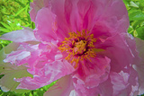 A Peony Blooms in a Garden Photographic Print by Gordon Wiltsie