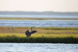 A Great Blue Heron, Ardea Herodias, Readies Itself for Flight Photographic Print by Robbie George
