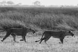 Two Lioness Walking Near a Spillway Photographic Print by Beverly Joubert