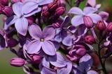 Close Up of Purple Lilac Flowers, Syringa X Hyacinthiflora, Louvois Variety Photographic Print by Darlyne A. Murawski