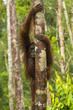 A Bornean Orangutan, Pongo Pygmaeus, Clinging to a Tree Trunk Photographic Print by Ralph Lee Hopkins
