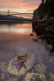 A Purple Sea Star, Asterias Ochracea, and the Lions Gate Bridge Fotografie-Druck von Paul Colangelo