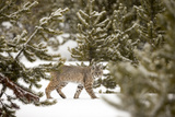 A Bobcat, Lynx Rufus, in a Snowy Evergreen Forest Photographic Print by Robbie George