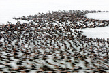 A Flock of Surf Scoter Ducks, Melanitta Perspicillata, on the Water Photographic Print by Paul Colangelo