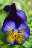 Close Up of a Pair of Pansy Flowers Photographic Print by Darlyne A. Murawski