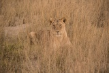A Lioness Resting in Tall Grasses Fotografisk tryk af Bob Smith