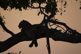 A Silhouetted Leopard Lying in a Tree at Sunset Photographic Print by Beverly Joubert