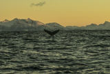 The Flukes of a Whale Off Lofoten Archipelago Photographic Print by Cristina Mittermeier