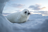 A Harp Seal Pup Rests at the Iles De La Madeleine in the Gulf of Saint Lawrence Photographic Print by Cristina Mittermeier