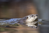 A North American River Otter, Lontra Canadensis, Swimming Photographic Print by Robbie George