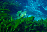 Courting River Cooters Swim Through the Eelgrass in Alexander Springs Photographic Print by Carlton Ward