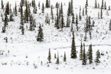 Snow-Covered Trees on a Small Island in the Athabasca River Photographic Print by Paul Colangelo