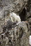 A Mountain Goat, Oreamnos Americanus, Atop a Rocky Outcrop Photographic Print by Robbie George