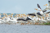 White Pelicans, the Largest Birds in North America, Congregate at the Upstream Side of Lake Harney Photographic Print by Carlton Ward