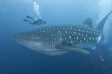 A Diver Approaches a Whale Shark, Rhincodon Typus Fotografisk tryk af Cesare Naldi