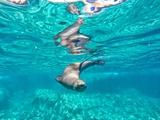 A California Sea Lion, Zalophus Californianus, Swims in Waters Off Los Islotes Photographic Print by Kike Calvo