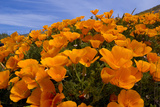 California Poppies, Eschscholzia Californica Californica, Grow on a Hillside Photographic Print by Paul Colangelo