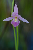 A Grass Pink Orchid in Okefenokee National Wildlife Refuge Photographic Print by Carlton Ward