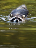 A Common Raccoon, Procyon Lotor, Swims in a River Photographic Print by Paul Colangelo