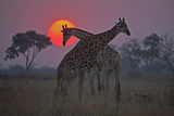 Two Giraffes Grazing with the Sun Setting in the Distance Photographic Print by Beverly Joubert