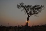 The Sun Setting Behind a Silhouetted Tree Fotografisk tryk af Beverly Joubert