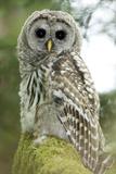 A Juvenile Barred Owl, Strix Varia, Perches on a Tree Branch Photographic Print by Paul Colangelo