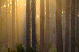 Slash Pine Forest in the Early Morning Light Photographic Print by Carlton Ward