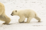 A Polar Bear, Ursus Maritimus, and Her Cub Photographic Print by Kent Kobersteen