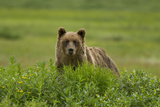 A Grizzly Bear, Ursus Arctos, Stands in the Area of the Sacred Headwaters Photographic Print by Paul Colangelo