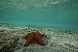 Sea Star in the Shallow Waters Off the Mosquitia Reef Photographic Print by Cristina Mittermeier