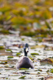 A Mallard, Anas Platyrhynchos, Floats Among Lily Pads Photographic Print by Paul Colangelo