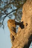 A Female Leopard Climbing a Tree Trunk Fotografisk tryk af Bob Smith