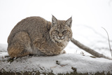 Portrait of a Bobcat, Lynx Rufus, Resting in a Snowy Landscape Photographic Print by Robbie George
