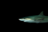 A Blacknose Shark, Carcharhinus Acronotus, at the Dallas World Aquarium Fotografisk tryk af Joel Sartore