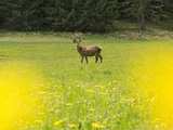 A Male Red Deer, Cervus Elaphus, Standing in a Field of Yellow Flowers Photographic Print by Ulla Lohmann