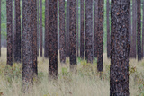 Longleaf Pines Grow Along the Florida National Scenic Trail Photographic Print by Carlton Ward