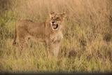 A Lioness in Tall Grasses Snarling or Displaying Flehmen Behavior Fotografisk tryk af Bob Smith
