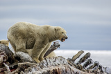 Polar Bears Feed on a Whale Carcass in Kaktovik, Alaska Photographic Print by Cristina Mittermeier