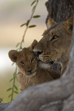 A Lioness Nuzzling Her Cub Photographic Print by Beverly Joubert