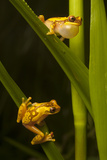 A Male Hourglass Tree Frog, Dendropsophus Ebraccatus, Calls to a Female on a Blade of Grass Below Photographic Print by Robin Moore