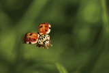 A Ladybug, Coccinella Septempunctata, in Flight Photographic Print by Ulla Lohmann